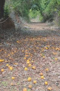 Crédito: Silvestre Silva - Caminho frutífero da RPPN Foz do Rio Aguapeí localizada no município de Castilho