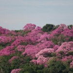 rppn_amadeu_botelho-ipes-rosa